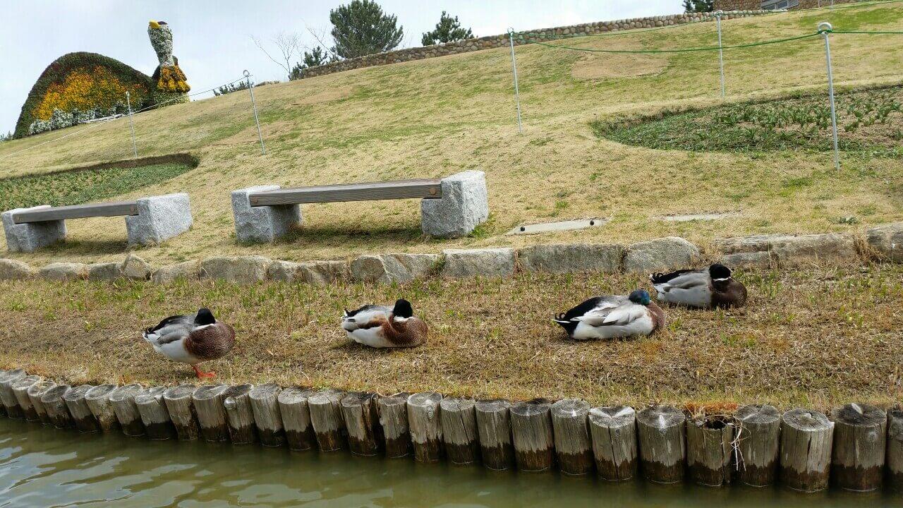 明石海峡公園カモ