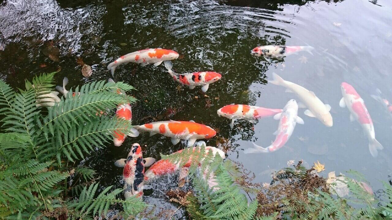 明通寺の鯉